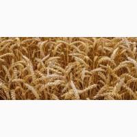 Продам посевной материал озимой пшеницы Адель (супер элита)