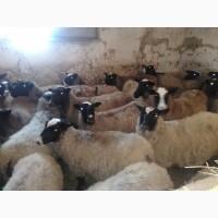Куплю дорого молодняк овец, ягнята