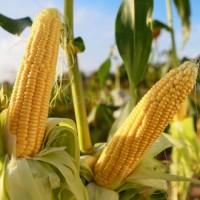 Насіння кукурудзи Матео ФАО 320