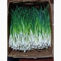 Продам зелену цибулю гарної якості
