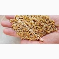 Семена ячменя MARSHALL канадский трансгенный сорт (элита)