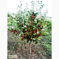 Саженцы: яблоня ягодная: формированная, на штамбе, «Пендуля», «Райка».