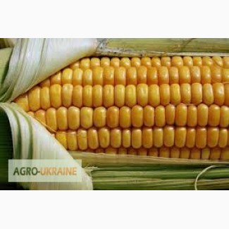 Продам семена кукурузы Оржица 237 МВ экстра