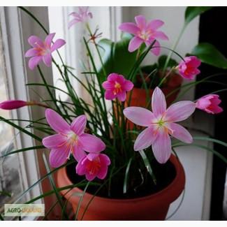 Зефирантес Желтый Citrina, Розовый Robusta, Белый Candida