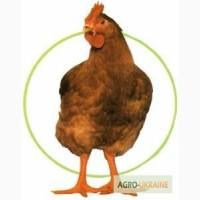 Яйця курячі інкубаційні Мастер, Редбро, Голошийка та Гріз Барр