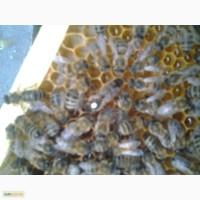 Продаю бджоломатки Карніка ПЕШЕЦ ціна 100грн за НЕплідну матку