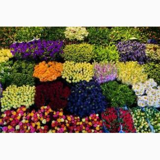 Хризантеми, лілії, гвоздика, іриси, троянда, еустома, альстромерія до Великодня