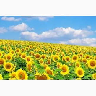 Посівний матеріал насіння соняшнику Рімі Ін Сем