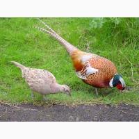 Інкубаційні яйця фазанів