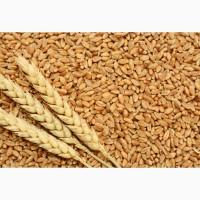 Терміново купуємо пшеницю продовольчу по Львівській області. Організовую вивіз