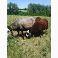 Продам романовскую овечку