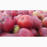 Продам яблука (Айдаред, Флоріна, Джанаголд, Голден, Чемпіон та ін.)