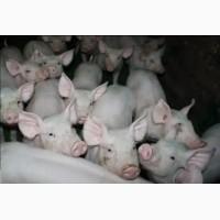Продам поросята мясної породи