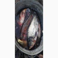 Продам рибу короп, толстолоб, карась оптом