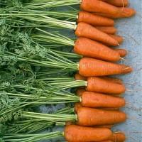 Продам семена моркови