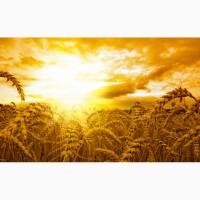 Куплю Пшеницу, Ячмень, Горох
