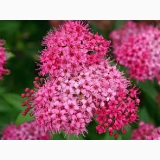 Продам саджанці спірей Бумальда та Білларда (квіти)