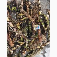 Куплю корень Аира, калгана, Алтея, живакость, окопникв сухом виде либо сырой.Оплата наличными