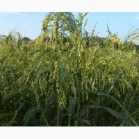 Агроцентр семена предлагает посевной материал проса