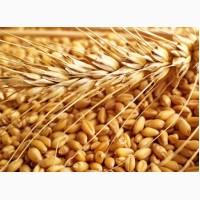 Купуємо пшеницю будь-якої якості