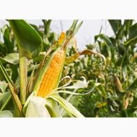 Семена кукурузы АЛЕН, ФАО 250