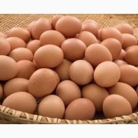 Инкубационное яйцо бройлера РОСС 308 (Чехия)