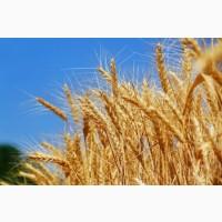 Продам посевной материал озимой пшеницы Адель элита