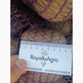 Картофель продовольственный 2020, калибр 5+, Королева Анна