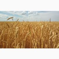 Продаем Канадская озимая пшеница Mason, высев 120 кг/га