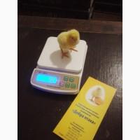 Суточные цыплята бройлера КОББ - 500