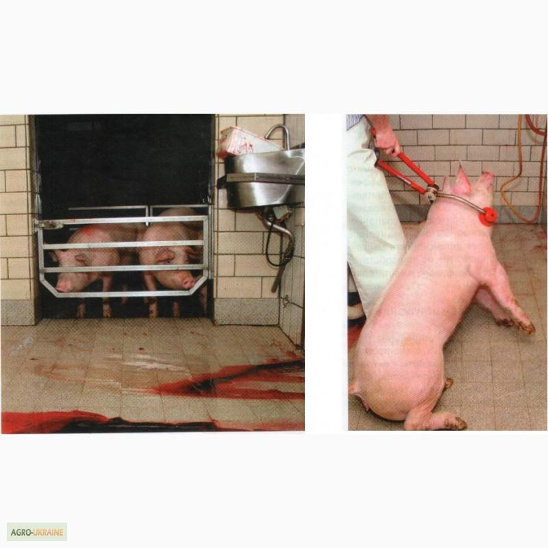 Оглушения свиней своими руками