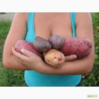 Продам семенной картофель лучших новейших сортов. Высокие репродукции. Посылки от 6 кг.