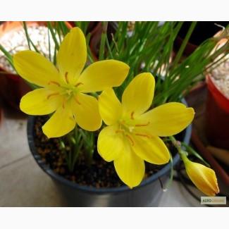 Цветы. луковицы Зефирантеса, белый, желтый, розовый. Лилия дождя. Выскочка
