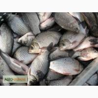 Продам живую рыбу оптом Карп, Карась,Белый-Амур,Щюка,То лстол
