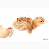 Цыплята кормовые, цыплята суточные замороженные на корм