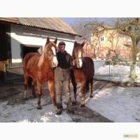 Продам пару молодих коней (кобил)