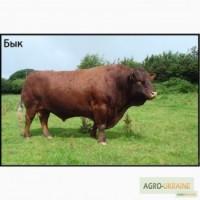 Продаем быков, коров, телок, баранов