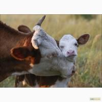 Замінник молока Телятко.JUNIOR +(з 20 дня, 50% молочної основи)
