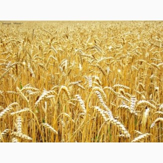 Куплю пшеницу разноклассовую, фураж