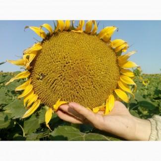 Семена подсолнуха ЛГ 5665 М