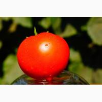 Семена томата Каста F1 ( Супернова F1) Оригинал