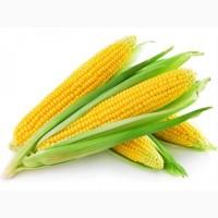 Цена 2017 года!Прода семена кукурузы гибрид Любава, Кредит, Солонянский