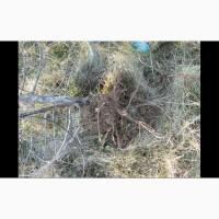 Можжевельник Juníperus корень