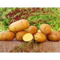 Продажа картофеля большим оптом