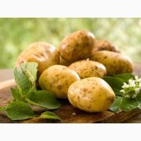 Закупка картошки крупным оптом