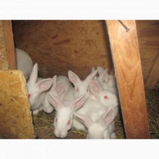 Кролі термонці