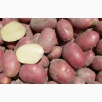 Продам картофель в асортименте (Алладин, Рокко, Белларосса, Тайфун) 12 тонн (12грн)