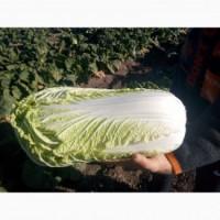 Продам капусту пекинскую сорт Билко F1