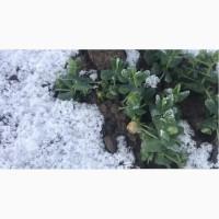 Семена озимого гороха Мороз