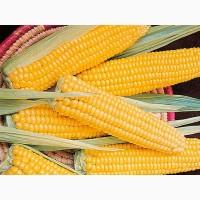 Підприємство закуповує кукурудзу дорого з місця